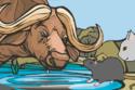 تقول الأسطورة أن سباق بين الفأر والثور فاز فيه الفأر بسبب خداعه