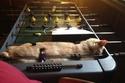 قطة تنام داخل لعبة بيبي فوت