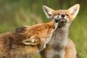 الثعالب عندما تقع في الحب.. صور بديعة ستغير رأيك في تلك الحيوانات الماكرة
