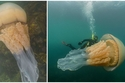 قنديل بحر عملاق بحجم إنسان
