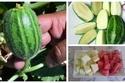 صور الشيلنغو.. فاكهة محيرة لها شكل البطيخ ولون الشمام أما الطعم مفاجأة