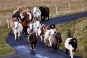 """جزيرة فولا الاسكتلندية اكتسبت صفة """"جزيرة الأحصنة الصغيرة"""""""