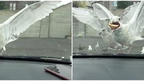 فيديو وصور: لقطة طريفة لسائق حاول إطعام نورس جائع قطعة من فطيرته