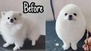 صور: قصة شعر مذهلة تحول الكلب بوم بوم إلى بيضة كبيرة مثيرة للإعجاب 🐶