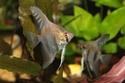 السمكة الملائكية