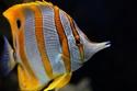 السمكة الفراشة