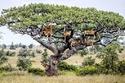صور رائعة لمجموعة من الأسود استوطنت شجرة.. تُرى ما السبب؟!