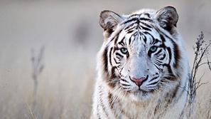 لقطات رائعة ستجعلك تعشق جمال النمور.. شاهدوا الصور