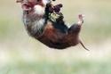 صور مدهشة لمحاولات فأر في الحصول على حبات التوت البري