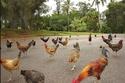 كاواي ، جزر هاواي - الدجاج