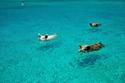 بيغ ماجور كاي ، جزر البهاما - الخنازير