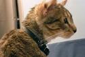 القط أصلان ذو أربع اذان
