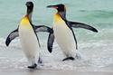 طائر البطريق يكون أخف داخل المياه