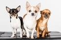 10. Chihuahuas