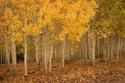 شجرة باندو العملاقة