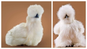 أغرب 7 حقائق علمية مثيرة للتعجب توجد حولنا .. بينها دجاجة بريش حرير