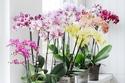 برج الحمل  من 21 مارس إلى 19 إبريل يميل لنبات أوركيد الفراشة