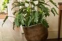 برج الجوزاء من 21 مايو إلى21 يونيو يميل لنبات الفيلودندرون