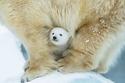 هكذا تعيش الدببة الأمومة مع صغارها.