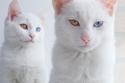 صور أجمل قطتين توأم في العالم بعيون مختلفة الألوان