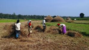 مزارع هندي يدخل غينيس بأطول نبتة كزبرة في العالم