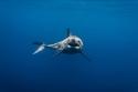 مصور شجاع يلتقط صوراً باهرة لسمكة قرش مفترسة من مسافة قريبة جداً