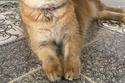 صور القطة الأكثر رفاهيةً في العالم المعروفة باسم ميسانديا البريطانية 2