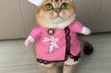 صور القطة الأكثر رفاهيةً في العالم المعروفة باسم ميسانديا البريطانية 3