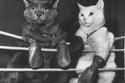 ملاكمة القطط