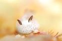 """""""أرنب البحر"""" يثير جنون اليابانيين.. تعرف على هذا الحيوان المائي المدهش"""