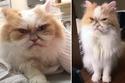القط الفارسي لويس