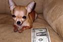 حصلت الكلبة براندي على لقب أصغر كلب على قيد الحياة، بسبب طول جسدها الذي لا يصل إلى 16 سم.