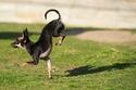 أسرع قفزة أمامية لكلب