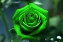 معنى الورد الأخضر