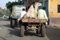 حمل الجمل على عربة بحصان