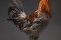 الدجاج لا يستهان به