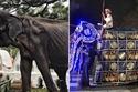 أنثى الفيل التي يطلق عليها تيكيري