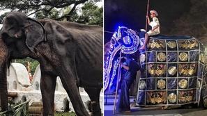 صور صادمة لأنثى فيل هزيلة تظهر عليها أسوأ حالة تجويع لحيوان