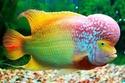 أسماك ملونة