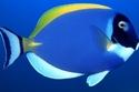 سمكة ملونة