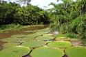 نباتات فيكتوريا الأمازون