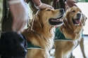 فريق Golden Retrievers