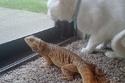 سحلية تقضي أحلى الأوقات مع صديقتها القطة.. صور تثبت أن الصداقة لا حدود لها