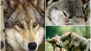 تعرف على الذئب الذي لا يمكن تهجينه ولا ترويضه