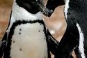 الرومانسية في عالم البطاريق.. هكذا يكون الحب بين جبال الثلج