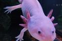 عفريت الماء Axolotl