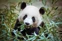 الباندا تتغوط معظم ما تأكله