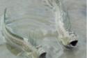 سمكة نطاط الطين.