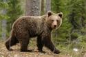 الدب.