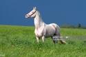 Akhal-Teke أقدم سلالة خيول